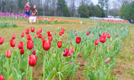 Tiptoe through the tulips at American Village