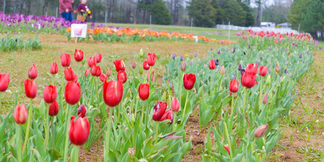 Tiptoe through the tulips at American Village